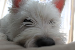 Midas (SarahHeyyyo) Tags: white west westie terrier highland midas