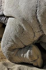 Rhino (Joao Eduardo Figueiredo) Tags: zoo jardim zoológico lisboa lisbonne lisbon portugal wild animals animais selvagens gardens rhino rinoceronte pé foot nikon d3x lissabon joão capital joao eduardo figueiredo joaoeduardofigueiredo rhinoceros rhinos