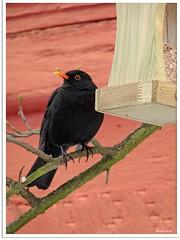 Amselmann Kurti und das Vogelhäuschen - Blackbird Kurti and the bird box (6)