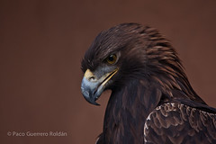 Aguila real (Aquila chrysaetos) 2 (Paco Guerrero Roldn) Tags: espaa animals fauna canon zoo spain cadiz animales jerez