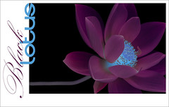 Black Lotus - BlackLotus-31-0700 (Bahman Farzad) Tags: flowers black flower macro yoga poster design peace lotus relaxing peaceful meditation therapy lotusflower lotuspetal blacklotus lotuspetals lotusflowerpetals lotusflowerpetal