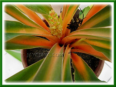 Flowers of Chlorophytum amaniense 'Fire Flash'