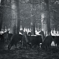 The Herd (Malou Sinding) Tags: leica trees winter bw snow film nature monochrome animal rollei landscape blackwhite feeding deer vision 90mm selfmade herd m6 alert summarit autaut malousinding