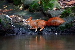 Esquilo-vermelho | Eurasian red squirrel (Sciurus vulgaris) (Rosa Gamboias/ on vacation) Tags: portugal animals fauna squirrels wildlife mammals animais esquilo esquilos redsquirrel sciurusvulgaris mamferos vidaselvagem roedores eurasianredsquirrel parquebiolgicodegaia esquilovermelho esquilovermelhoeurasitico