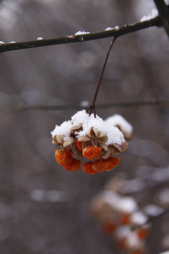 snowy spindleberries