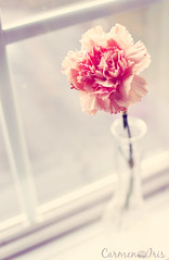 f r e s h... 1/52 (Hey Lovely *) Tags: light stilllife flower window glass nikon soft feminine pastel fresh vase carnation myhome bathroomwindow 152 newbeginnings nikor 3518 d5000 lavueltaalmundo shutterdivas