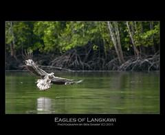 Eagles of Langkawi 4 (CrazyNotion (wandering and wondering)) Tags: langkawi eagles bensharif