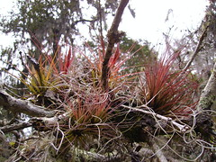 Tillandsia ionantha (Florafreak) Tags: tree plante rouge bomen bosque tillandsia nicaragua growing ionantha rood tak grond usneoides 2000m nevelwoud brnche vochtig nubioso epyfyt