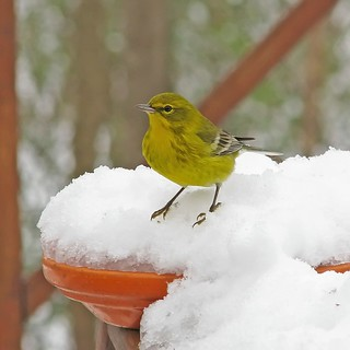 Pine warbler in the snow