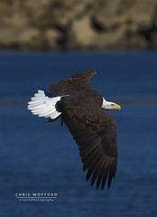 Adult Bald Eagle (Chris Wofford) Tags: chris wild brown bird art nature beautiful beauty birds america canon fly flying wings fishing md eyes dof natural eagle feeding bokeh dam wildlife flight baldeagle feathers bald award maryland national american raptor 7d catch fowl usm 500mm majestic eagles ef f4 mothernature geographic birdsofprey whitetail naturally 2010 nationalgeographic watcher feathery birdwatcher conowingo 14x wofford conowingodam closetonature 700mm specanimal avianexcellence bokehs chriswofford