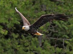 Tout prs - Pygargue  tte blanche / Bald eagle - Near from me (mitch099) Tags: summer bird nature beauty eagle quebec baldeagle bald beaut t oiseau pygargue pygarguetteblanche micheleamyot mitch099