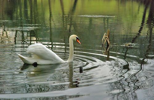 Swan in Gatton Park Lake
