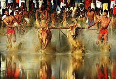 The Legendary Bull Race from Kerala ! (Anoop Negi) Tags: portrait india hot male sports water festival race rural photography for photo media mud image photos delhi indian agrarian bangalore creative slush kerala images f1 bull racing best po runners mumbai cochin anoop redbull kochi onam torsos negi adoor whitebull photosof ezee123 bestphotographer imagesof anoopnegi jjournalism meninskimpyclothes