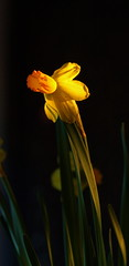 Narcissus  (Parisa Yazdanjoo) Tags: flower yellow narcissus