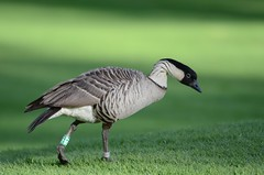 Hawaiian Goose or Nn (Branta sandvicensis) DSC_1075 (NDomer73) Tags: bird hawaii december goose nenegoose nene 2010 hawaiiangoose hawaiiannenegoose 30december2010