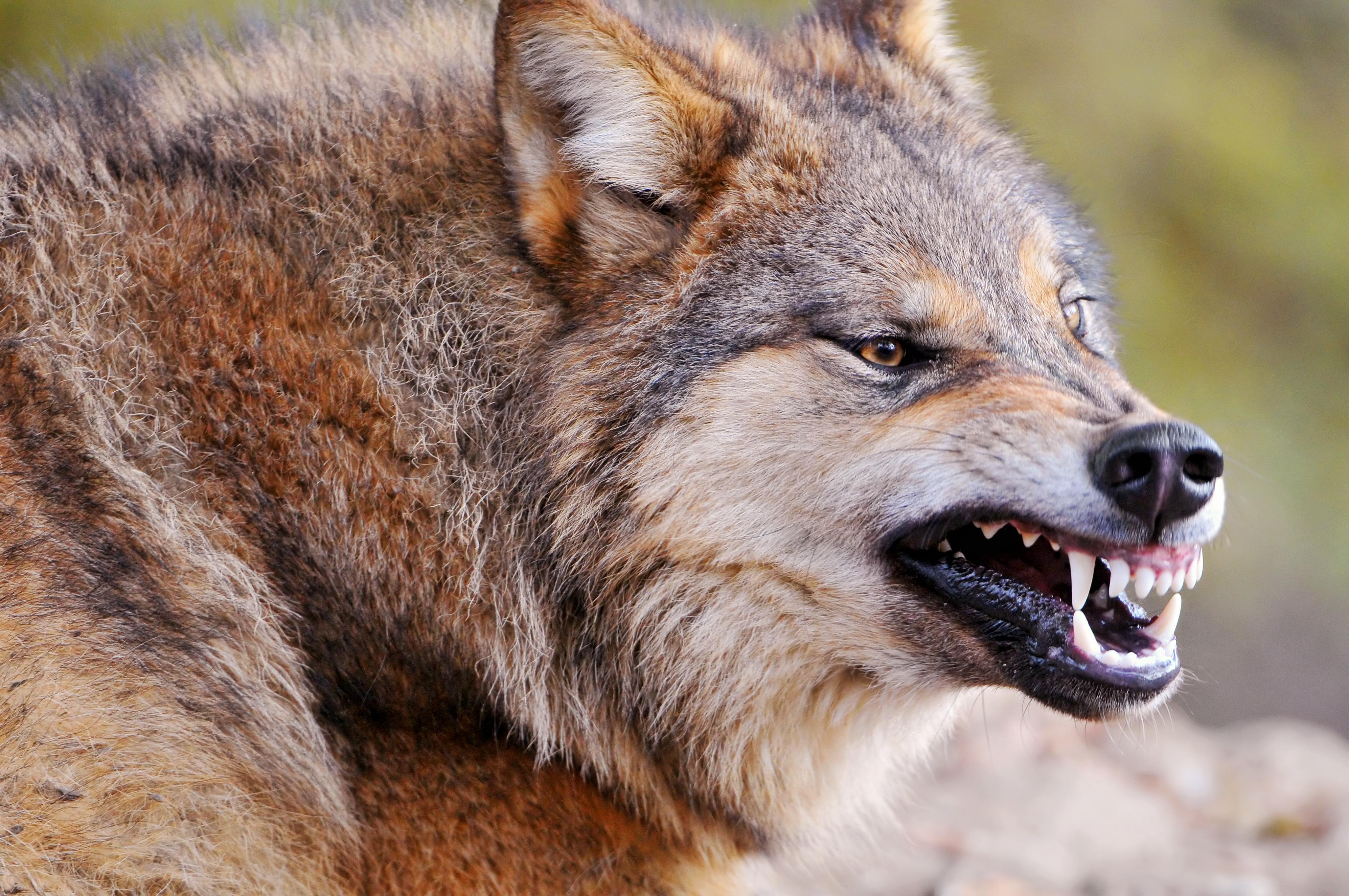 威嚇する姿がかっこいい狼の画像
