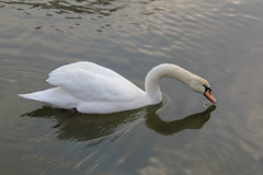 Cygne (MUMU.09) Tags: bird animal photo swan foto bild schwan oiseau cygne cisne luik hattyú 照片 nga imagem labud الصور chim zwaan 写真 cigno 天鹅 صورة angsa 圖片 eala фото labuť イメージ 天鵝 svanur svane thiên फोटो łabędź بجعة 백조 gulbė лебед labod kuğu лебідь изображение лебедь スワン हंस หงส์ lebădă κύκνοσ छवि chimthiênnga გედების