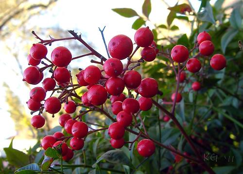 Nandina Bamboo Berries