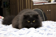 black cat (Fotokon KiKi) Tags: black animal yellow cat canon fur persian cool model tiger sigma lee lovely kiki kunming yunnan  clever hanson         2470     450d      kikiking
