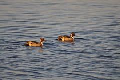 Pair of male Northern Pintail ducks (Jim_AC) Tags: winter birds ducks forsythe nwr anatidae anseriformes
