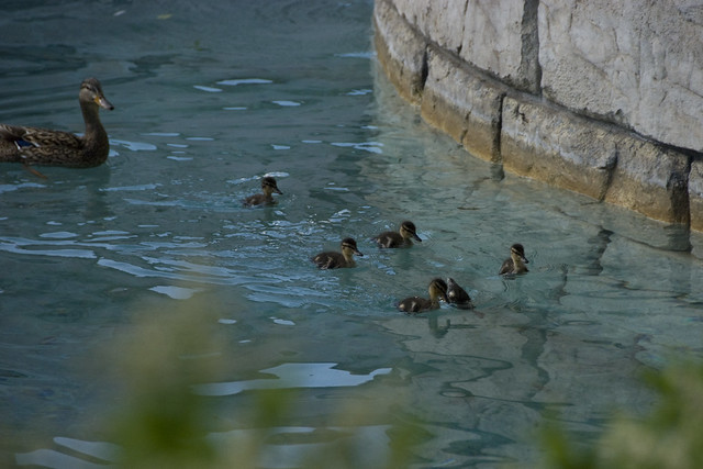 D2 bellagio duck family 2