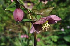 Purple Hellebore (littlestschnauzer) Tags: flowers west up garden petals spring close purple yorkshire elements flowering hellebore helleborus 2014 my