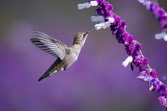 Anna's in Purple (Patricia Ware) Tags: annashummingbird birdsinflight california calypteanna canon ef400mmf56lusm mexicanbushsage palosverdespeninsula salvialeucantha httppwarezenfoliocom 2016patriciawareallrightsreserved rollinghillsestates unitedstates us handheld specanimal