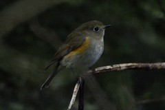 Three Years Ago. (stonefaction) Tags: red flanked bluetail denburn wood crail fife scotland rare birds nature wildlife 2013 october