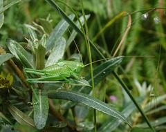 Great green bush-cricket nymph (f) (rockwolf) Tags: greatgreenbushcricket tettigoniaviridissima cricket orthoptera sauterelle insect sennencove cornwall 2016 rockwolf