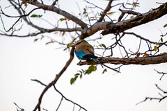 20160915 008 Chobe Lilac Breasted Rover (scottdm) Tags: 2016 4x4 africa bird botswana chobe gamedrive intrepid kasane lilacbreastedroller morning nationalpark september travel northwestdistrict bw