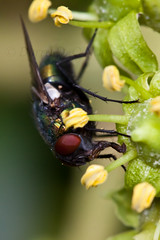 Fly on Ivy 6 (LongInt57) Tags: fly flies bug insect ivy flower blossom bloom petals stamens pollen macro yellow green red black grey gray nature garden kelowna bc canada okanagan blue