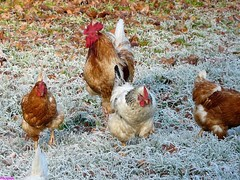 Hhner, Chicken 2010 im Raureif mit Herbstlaub immer auf der Suche nach Futter.  Chickens in the frost of autumn foliage always looking for food. (Grebein) Tags: winter chicken leaves laub herbst cook huhn henne kalt hahn hhner rauhreif chicken2010 chicken2010imraureifmitherbstlaubimmeraufdersuchenachfutterchickensinthefrostofautumnfoliagealwayslookingforfood