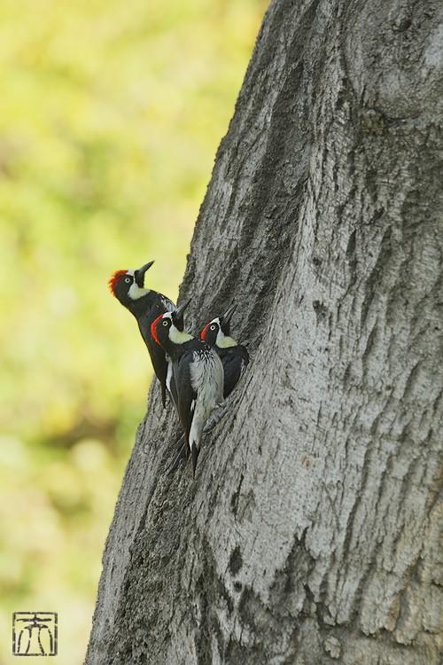 Acorn Woodpecker112810-6