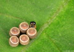 "Tiny Scelionid wasp ""marking""  the eggs of a Pentatomid bug, 3x (gbohne) Tags: java macro jakarta insekten insekt insects insecta insect indonesia canon arthropoda animalia heteroptera eggs eier parasitism wasp wespe hymenoptera hautflügler mp65 bug wanze truebugs truebug indet wanzen wasps apocrita hemiptera pentatomidae baumwanzen taxonomy:suborder=apocrita taxonomy:order=hymenoptera taxonomy:family=pentatomidae taxonomy:suborder=heteroptera taxonomy:order=hemiptera taxonomy:class=insecta taxonomy:superfamily=platygastroidea taxonomy:family=scelionidae zerwespen idiobiont taxonomy:phylum=arthropoda geo:region=asia geo:country=indonesia macrolife parasitismus parasite identified taxonomy:subphylum=hexapoda flash egg ei outdoor"