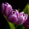 Tulip (Domdomfrommionnay) Tags: flower macro fleur closeup tulip tulipe macrophotography canonefs1785mmf456isusm kenkoextension canoneos50d flickraward5 flickrawardgallery