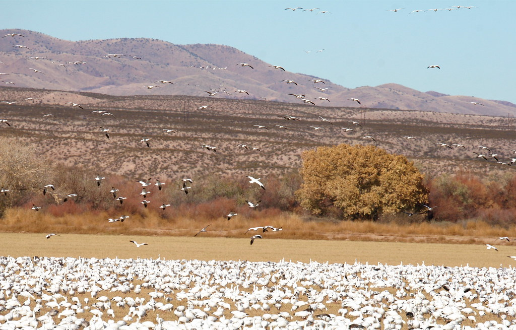 Flock of Snow Geese and Sandhill Cranes