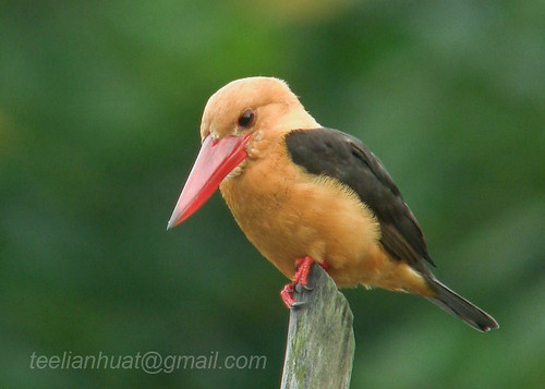 Brown winged Kingfisher langkawi