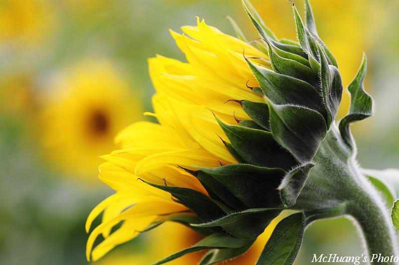 向日葵亂拍