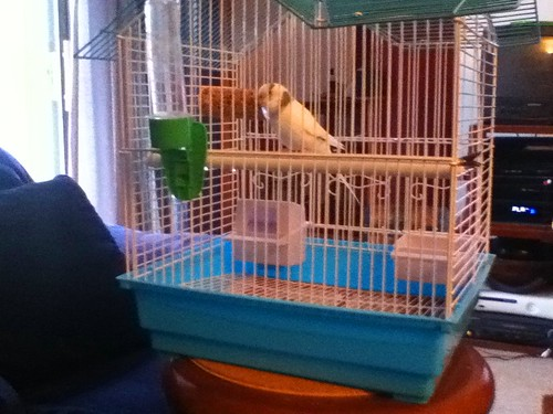 Ptw Dinah in her new Away cage, hanging out with me in living room