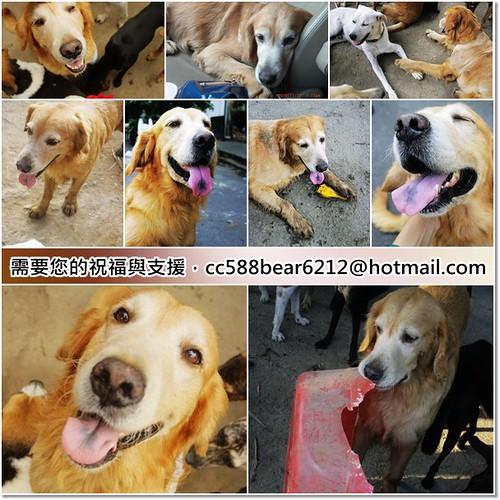 「祝福與支援」被遺棄在大里街頭的黃金獵犬Max~即將赴美~需要您的祝福與支援,隨手幫忙轉PO也是非常重要~謝謝!20101207