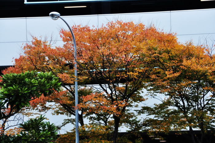 MIHO美術館楓葉情01