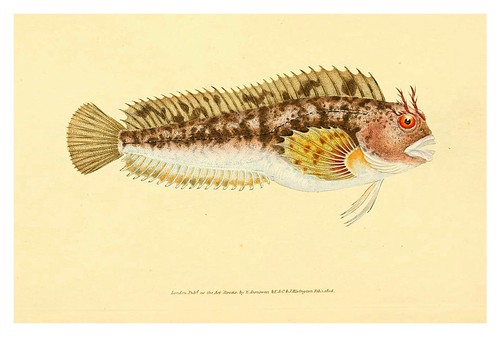 014-The natural history of British fishes 1802-Edward Donovan
