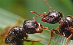 El encuentro de los zánganos. (Ed...) Tags: hormigas onephotoweeklycontest zángano onephotoweeklycontestwinner