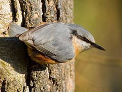 _MG_2978 Nuthatch (Sitta europaea), Coombe Country Park, Warwickshire 08Dec10 (Lathers) Tags: canon nuthatch coombe warwickshire sittaeuropaea coombeabbey coombecountrypark canonef300f4lisusm canon7d 08dec10
