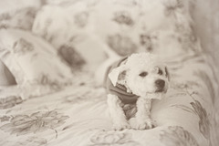 G is for girly... (Abby Lanes) Tags: dog cute sepia puppy miniature sweater soft poodle bichon stretching decemberdiary2010 bellagrazia