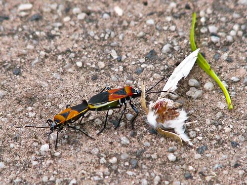 Shield Bugs