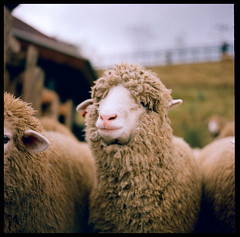 Meeeeeeeeeehh~ (Lefty Jor) Tags: 120 6x6 film t xpro crossprocessed day fuji dof sheep bokeh farm taiwan slide hasselblad expired  planar  500cm carlzeiss 80mmf28 rxp provia400x