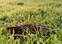 Hungry For Fresh Salmon? (FVDB Photography) Tags: park morning autumn green grass sunrise leaf frost sunday dew blatt
