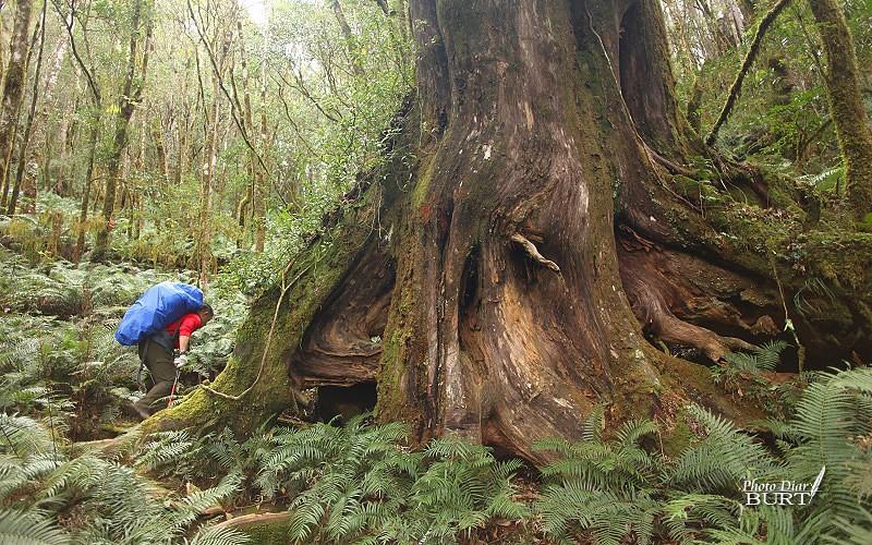 繞過巨木的山徑