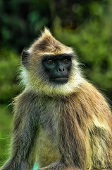 Crispy Monkey (FLASH MEDIA CREATIONS) Tags: portrait india animal animals photoshop advertising photography monkey interesting nikon fashionphotography wildlife creative filter ram filters hdr tamilnadu ooty coimbatore designing professionalphotography foodphotography cbe productphotography fmc industrialphotography masanagudi mudhumalai cs5 advertisingphotography ramprasanth jewelleryphotography photographycompany designinglogo flashmediacreations productphotographyincoimbatore industrialphotographyincoimbatore professionalphotographysolutions photographyprintinglogo coimbatoreweb ramprasanthphotography